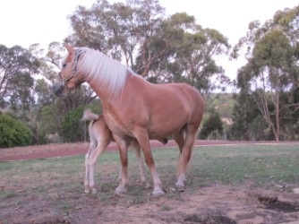 Hesta with foal